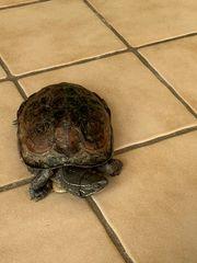 Weibliche chinesische Wasserschildkröte