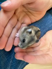 dsungarische Zwerghamster Babyhamster Hamster Hamsterbabys