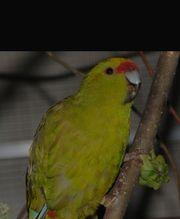 Suche Springsittich Henne Zimtfarben