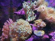 Meerwasser Korallen korallenableger