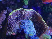 Koralle Turbinaria reniformis