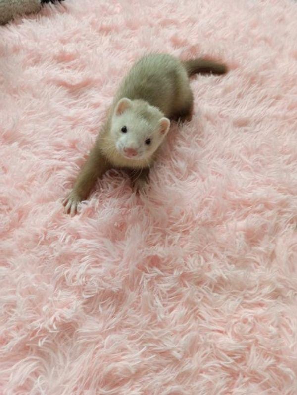 Frettchen Welpen 9 Wochen alt