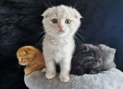 BKH Scottish Fold- MIschlinge