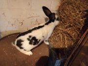 Kaninchen Rammler ca 5 5