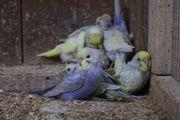 Wellensittiche Rainbow Nestjung und Zuchttiere