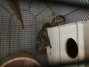 Baumstreifenhörnchen Paar