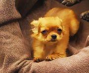 Entzückendes Chihuahualanghaarmädchen sucht kuscheliges Zuhause