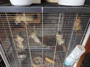 Chinesische Baumstreifenhörnchen keine Sibirische