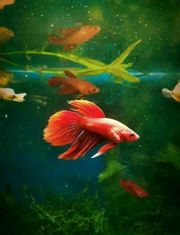 Kampffische Männlich Weiblich