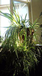 Zimmerpflanze Grünlilie Chlorophytum comosum Variegatum