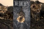 BKH Kitten Black Silver-Tabby-Classic Spotted