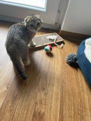 Zwei süße Kitten ein BKH