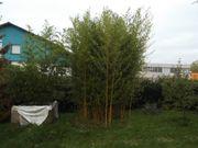 Verkaufe Bambus Pflanzen und auch