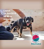 Lupus - Nie wieder Langeweile im