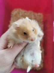 Hamsterbabys teddy Mädchen aktualisierung 2
