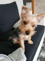 Yorkshier Terrier Welpe