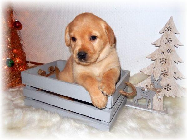 Labrador Welpen blond/schwarz aus Familienzucht mit Papieren    €1.300,-                    Festpreis      größere Bilder                                                           Standort:D-74847 Obrigheim Mörtelstein                   Anzeige:    19575 - Labrador Welpe Unsere Wonneproppen ist jetzt 4,5 Wochen alt und können Ihre neuen Familien kennen lernen. Wunderschöne typvolle Labrador Welpen aus liebevoller Familienzucht. Unsere Welpen stammen von wesensfesten Elterntieren a - Obrigheim Mörtelstein