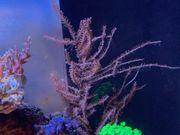 Korallen Gorgonien