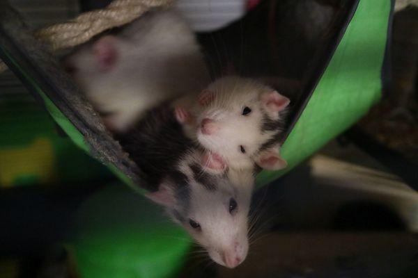 Liebevolle Tierbetreuung für Kleintiere Ratten