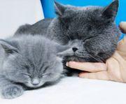 Bkh Britisch Kitten Europass