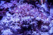 Meerwasser Röhrenkoralle Knopia Octocontacanalis