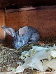 Rammler Deutsche Riesen Kaninchen