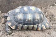 Adulte weibl Breitrandschildkröte Testudo marginata