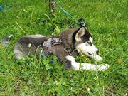 Wunderschöne junge Sibirische Husky Dame