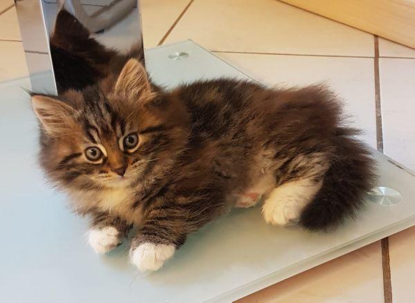 Katzenkinder Kaufen