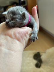 Russischblau Kitten mit Stammbaum