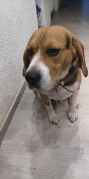 Reinrassiger Beagle Rüde nicht Kastriert