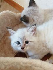 Neva Masquarade Kitten