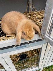 Kaninchen Hasen Zwerg Babys zu