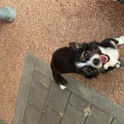 Deckrüde Chihuahua Mini