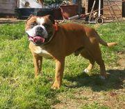 Olde British Bulldog Welpen