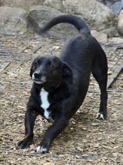 Labrador Dackel Mix Mischling