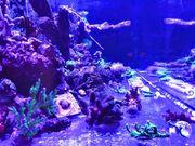 Korallen Ableger SPS LPS und
