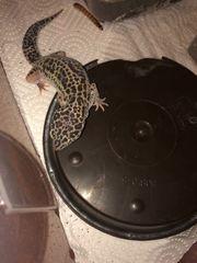 Gecko Mädchen