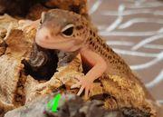 Leopard Gecko Weibchen 2020