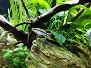 Fisch Purpurprachtbarsch