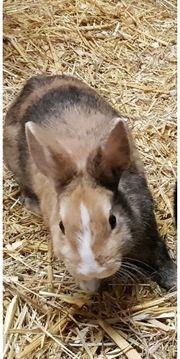 Zwergkaninchen Zwerg Rex Kaninchen Hasen