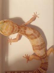 0 1 Leopardgecko Rainwater Albino