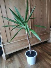 Große Yucca Palme günstig weiterzugeben