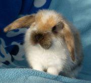 Satinwidder Satinzwergwidder Kaninchen Schlappohr Zwergkaninchen