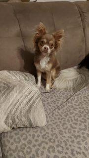 Wunderhübsche Chihuahua Hündin 1 jahr