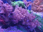 meerwasse Korallen ablegen