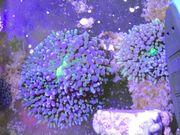 Koralle Ricordea florida Scheibenanemone