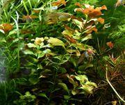 Bunte Ludwigie Mesakana Wasserpflanzen Versand