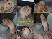 Hamster sucht ein Tolles zuhause