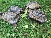 Maurische Landschildkröten NZ2010